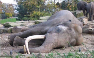 В Ботсване загадочный мор слонов: За месяц погибло 170 животных и никто не знает причины