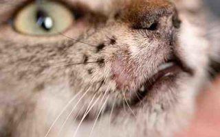 Лишай у кошки. Разновидности и лечение