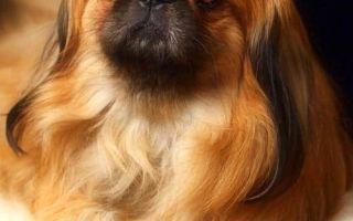 Пекинес и выставки собак